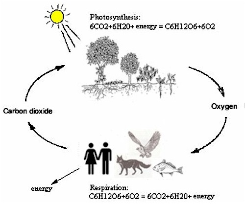The Photosynthesis cycle ... we humans and the animales breathe oxygen and emit carbon dioxide. The plants take up carbon dioxide and restitute oxygen... It's been in perfect balance for billions of years... even before man came on the scene.