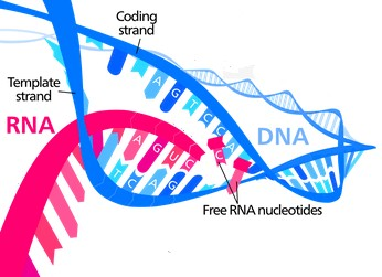 DNA splitting down the middle, into two strands, one of which will serve as the template for production of a 'piece of RNA'.
