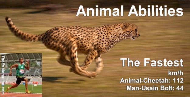 Animal Abilities. A Cheetah can outrun Usain Bolt anytime. Animals run off with all the Olympic medals.
