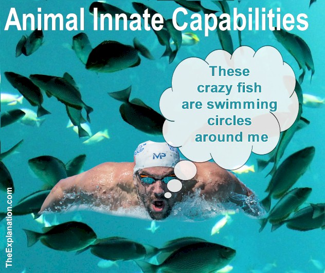 The Innate Capabilities of Animals leave Human Swimmers in their Wake
