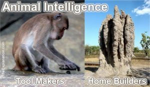 Animal Intelligence - How is it they show human-like capabilities such as Tool Making and Home Building?