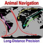Animal Navigation, long-distance precision by various species of birds. Around and around the Earth they go.
