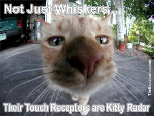 Animal senses are superior to man in every instance. Sight, hearing, smell, taste and touch animals beat mankind hands down. Cat whiskers are kitty radar.