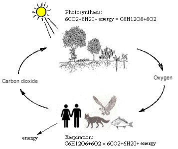 carbon dioxide oxygen cycle pictures to pin on pinterest