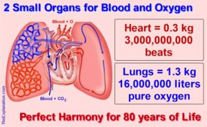 Just two small organs, the heart and lungs. 3 billion heart beats and 16 million liters of pure oxygen perfectly coordinated to keep the body performing for 80 years.