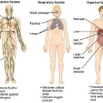 Three of your body's eleven mojor organ systems