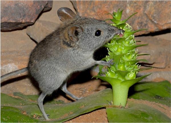 Fauna, like the Cape Rock Shrew, have amazing traits.