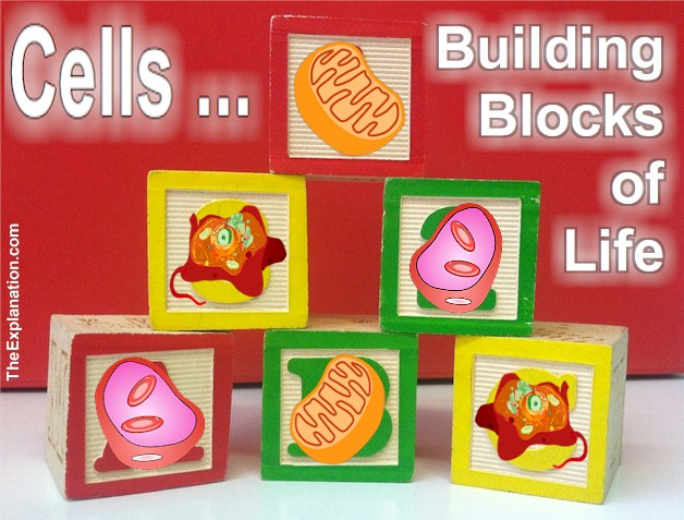 Cells ... all 100 trillion (1 followed by 14 zeros) including your blood cells are the building blocks of life. They come in all shapes and sizes and fit together perfectly to give ... you and I.
