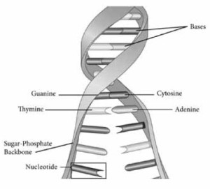 Double-helix DNA showing how each nucleotide is attached to the outside backbone while also being able to disasociate in the middle for reproduction purposes.