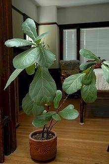 Ficus-Lyrata fig leaves.