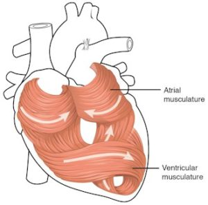 The cardiac muscle pattern is elegant and complex. The middle layer (of 3 layers) of the heart wall is the myocardium, is the cardiac muscle. The muscle cells swirl and spiral around the chambers of the heart