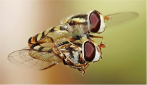 Hoverflies mating in midair... much more difficult than Kama Sutra