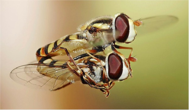 Hoverflies characteristics, mating in midair... much more difficult than Kama Sutra