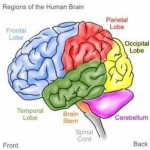 A very simplistic structural view of the brain referring to the four lobe regions and the two-sided brain.