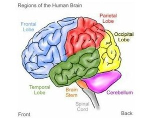 The four lobe regions of the Human Brain