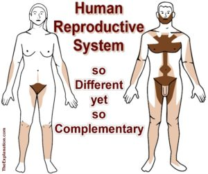 The human reproductive system, male organs and female organs. So very different, inside and out, but so complementary.