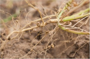 legume nitrogen producing roots and nodules