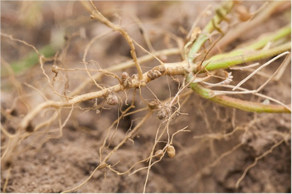 Flora legume roots and nodules produce nitrogen for man's and animal's benefit to have life on Earth