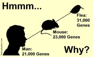 Man has about 21,000 genes, a mouse has about 23,000 and a water flea has 31,000 genes the most of any animal. How can this be considering man has so much more than a flea?