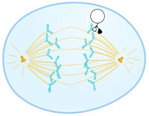 Mitosis... the dividing of a cell into two identical sister cells. the Kinesin walking protein actually carries a chromotid to the 'end zone' centrosome which will form the nucleus of the new cell.