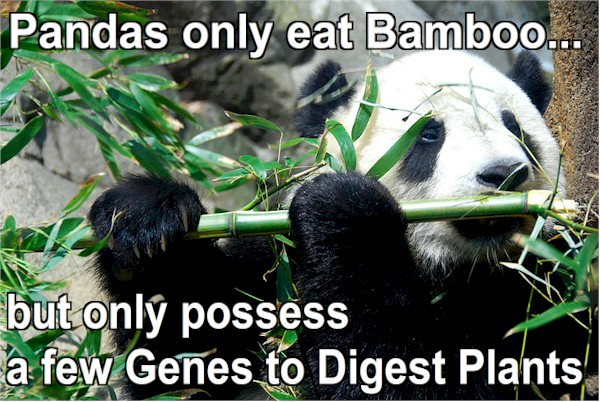 Amazing fauna. Pandas only eat bamboo, but their digestive system has few genes for digesting plants. A paradox.