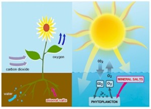 Photosynthesis - The carbon dioxide and oxygen cycle that takes place. 50% by plants and trees on land and 50% by phytoplancton at sea.