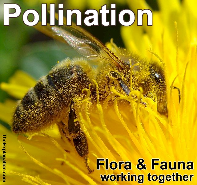 Pollination, see the pollen on the bee as flora and fauna work together to make our environment.