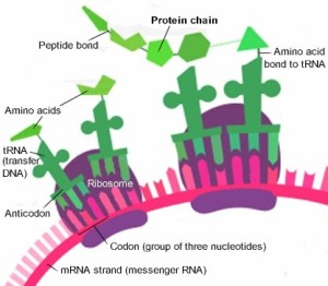 The 'factory' chain line production as a ribosome moves along a strand of mRNA to bring all the amino acids together for a particular protein.