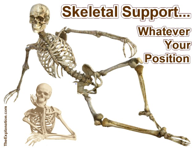 Your Skeleton, the Perfect Support for your Body