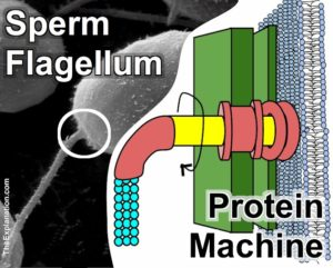 A sperm flagellum which propels the cell towards the ovum actually has a a protein machine that acts like a propeller with a continuous revolving motion.