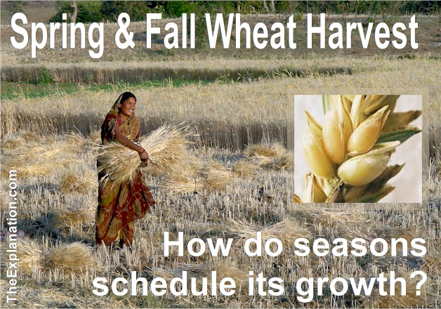 Spring and Fall Wheat Harvest ... one of the biggest domesticated crops in the world and we don't realize how the seasons schedule its growth.