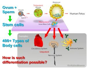 The fertilized ovum divides and produces 'stem cells'. Each of these stem cells can produce various types of other body cells hence they are pluripotent cells. Together the stem cells produce the 400+ types of cells whick compose our bodies. This amazing process is call 'differentiation'.