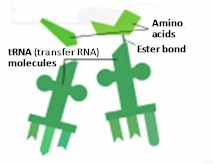 tRNA, known as transfer RNA, fabricated in the cell, gather amino acids, delivered just in time, to reproduce new strands of DNA