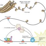 Components of transcriptional regulation