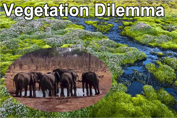 The rich peatland vegetation of... in contrast to the barren homeland of elephants in Botswana, that the vegetation dilemma