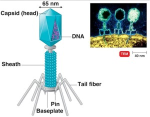 A Virus 'Landing Craft' replete with its injection needle and snippet of DNA necessary for its reproduction and destruction.